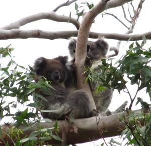40_Koalas